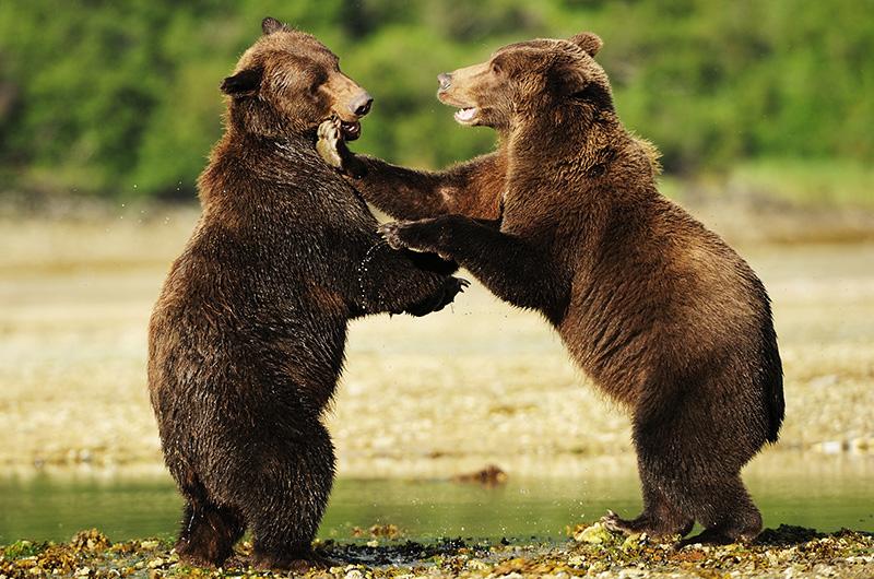 Braunbären beim spielen, Katmai-NP,Alaska, © Thomas Sbampato