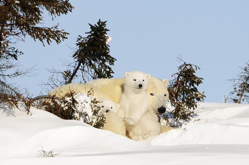 Eisbärin mit Nachwuchs, © Thomas Sbampato