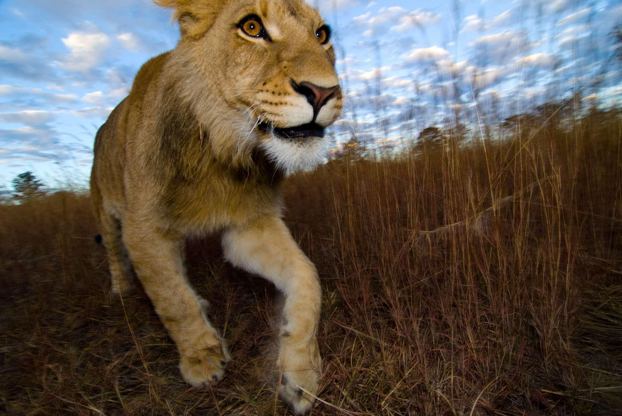 Löwe Antilope Park, © Dirk Bleyer