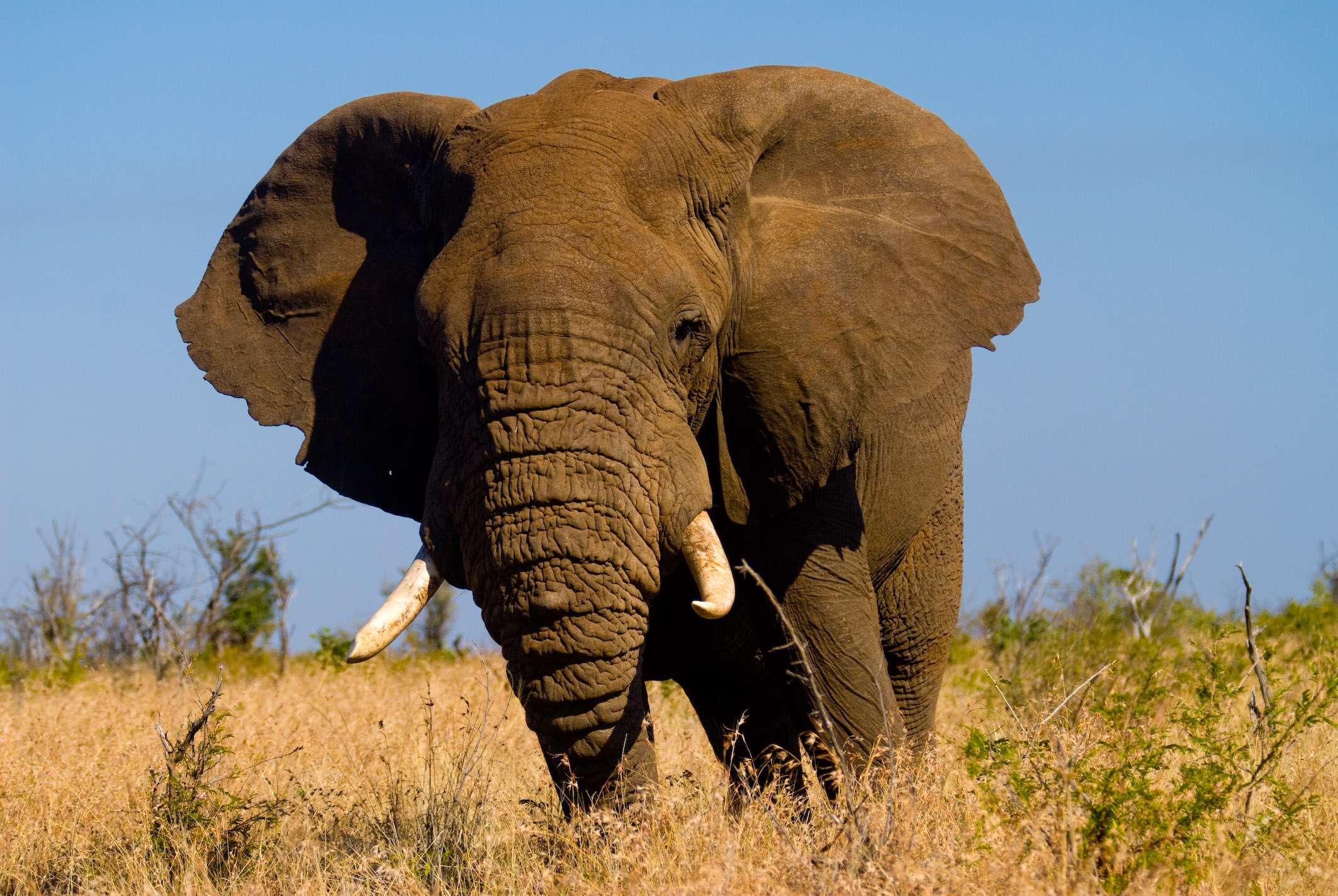 Elefant Tembo im Krügerpark, © Dirk Bleyer