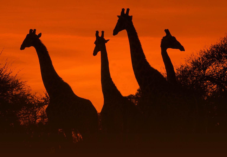 Giraffen Krügerpark, © Dirk Bleyer