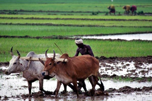 Bauer bewirtschaftet sein Feld, bei Cuttack, Orissa