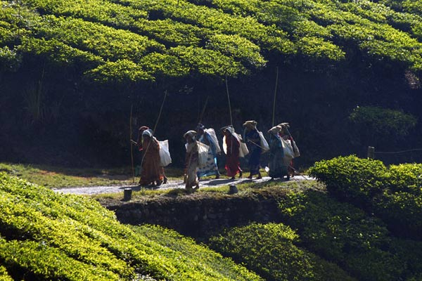 Teepflückerinnen auf dem Weg zur Arbeit, Munnar, Kerala