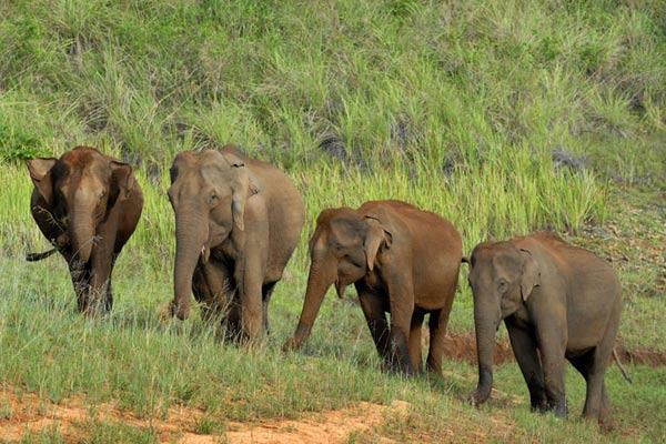 Elefantenherde, Periyar National-Park, Kerala