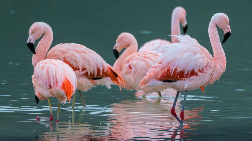Chile-Flamingos im Torres del Paine Nationalpark